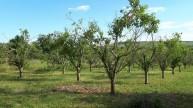 Pflaumenplantage in Schwabenheim zu verpachten