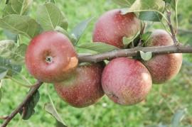 Ein robuster Mostapfel wurde zur Streuobstsorte des Jahres für das Verbandsgebiet des Verban-des der Gartenbauvereine Saarland / Rheinland-Pfalz gewählt: Der 'Moseleisenapfel'